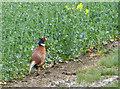 TA2237 : Pheasant by the field, near Tansterne by Paul Harrop