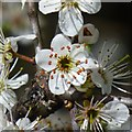 SK4934 : Blackthorn blossom by David Lally