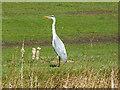 SD7807 : Grey Heron (Ardea cinerea) by David Dixon