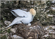 TA1974 : Gannet on Nest, Bempton Cliffs, Yorkshire by Christine Matthews