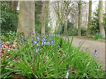 SD4615 : Bluebells by path and trees, Rufford Old Hall gardens by David Hawgood