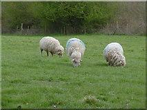 TQ4476 : Sheep at Woodlands Farm by Marathon