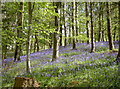 ST6763 : Stantonbury bluebells by Neil Owen