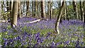 SP8906 : Bluebells in Barn Wood by Mark Percy
