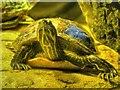 SJ7796 : Turtle at Manchester Sealife Centre by David Dixon