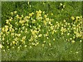 SO8641 : Cowslips on a road verge by Philip Halling