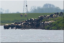 SK8166 : Cattle on the banks of the River Trent by Mat Fascione