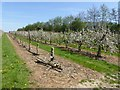 TQ9345 : Orchard at Sheerland Farm by Oliver Dixon