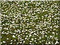 SO8642 : A carpet of daisies by Philip Halling