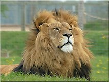 SE6301 : In lion country at Yorkshire Wildlife Park by Graham Hogg