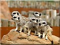 SE6301 : A handful of meerkats at Yorkshire Wildlife Park by Graham Hogg