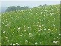 SO8843 : Dandelions by Philip Halling