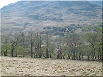 NN1435 : Alders beside the River Kinglass by Richard Webb