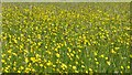 SO8742 : Buttercups by Philip Halling