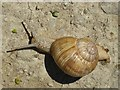 TQ9350 : Roman Snail on the Pilgrim's Way by Oliver Dixon