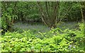 ST0101 : Bluebells in Paradise Copse by Derek Harper