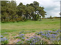 TQ4730 : Bluebells at Kings Standing Clump by Marathon