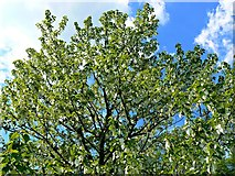 TQ1352 : The canopy of a handkerchief tree, Polesden Lacey, Great Bookham, near Dorking by Brian Robert Marshall