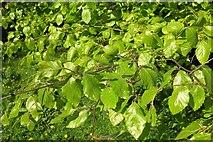ST0207 : Beech leaves by the mill leat by Derek Harper