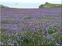 SM7210 : A Sea of Bluebells by Alan Hughes