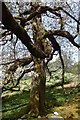 NY3404 : Cherry Tree, Loughrigg by Michael Graham