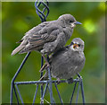 TQ2995 : Young Starlings in London N14 by Christine Matthews