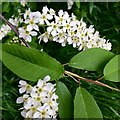 SK5034 : Bird cherry blossom by David Lally