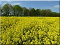SO8642 : Oilseed rape and avenue of trees by Philip Halling