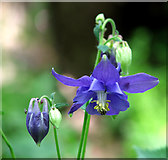 TM3698 : Common columbine (Aquilegia vulgaris) by Evelyn Simak