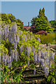TQ0658 : Wisteria by the stream by Ian Capper