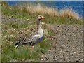 NS4878 : Greylag Goose by Lairich Rig