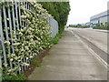 TQ4982 : Hawthorn blossom alongside Chequers Lane by Marathon