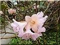 SW8339 : Rhododendron flowers, Trelissick Gardens by Derek Voller