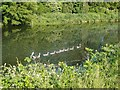 TL3700 : Goose family on the River Lea, near Waltham Abbey by Jim Osley