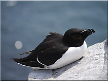 NU2135 : Inner Farne: Razorbill On The Rocks by James T M Towill