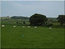 NY9874 : Charolais cattle, Hallington by Richard Webb