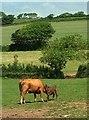 SX7041 : Cow and calf by Burleigh Lane by Derek Harper