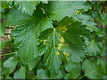 NS4074 : Rust fungus galls on Alexanders by Lairich Rig