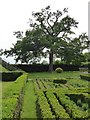 SJ8308 : The Knot Garden and oak tree by Philip Halling