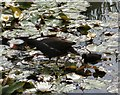 SJ9090 : A moorhen and its chick by Gerald England