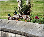 SJ9090 : Three Mallard Ducks by Gerald England