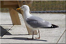 HU4039 : Herring Gull (Larus argentatus), Scalloway by Mike Pennington