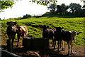 SJ5052 : Cattle near Pool Farm by Christopher Hilton