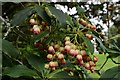 "SW9147 : Trewithen House and Garden: ""Enkianthus campanulatus"" by Michael Garlick"