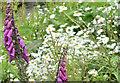 J3371 : Wildflowers, River Lagan, Belfast - June 2016(2) by Albert Bridge