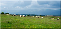 NY6315 : Sheep on Maulds Meaburn Moor by Trevor Littlewood