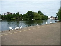 TL1998 : Swans on the Nene at Peterborough by Christine Johnstone