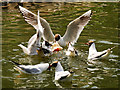 SD7009 : Black Headed Gulls at Queen's Park by David Dixon