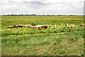 TL2998 : Cattle on the Fens by Anne Burgess