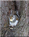 TQ3092 : Grey Squirrel in Tree, Broomfield Park, London N13 by Christine Matthews